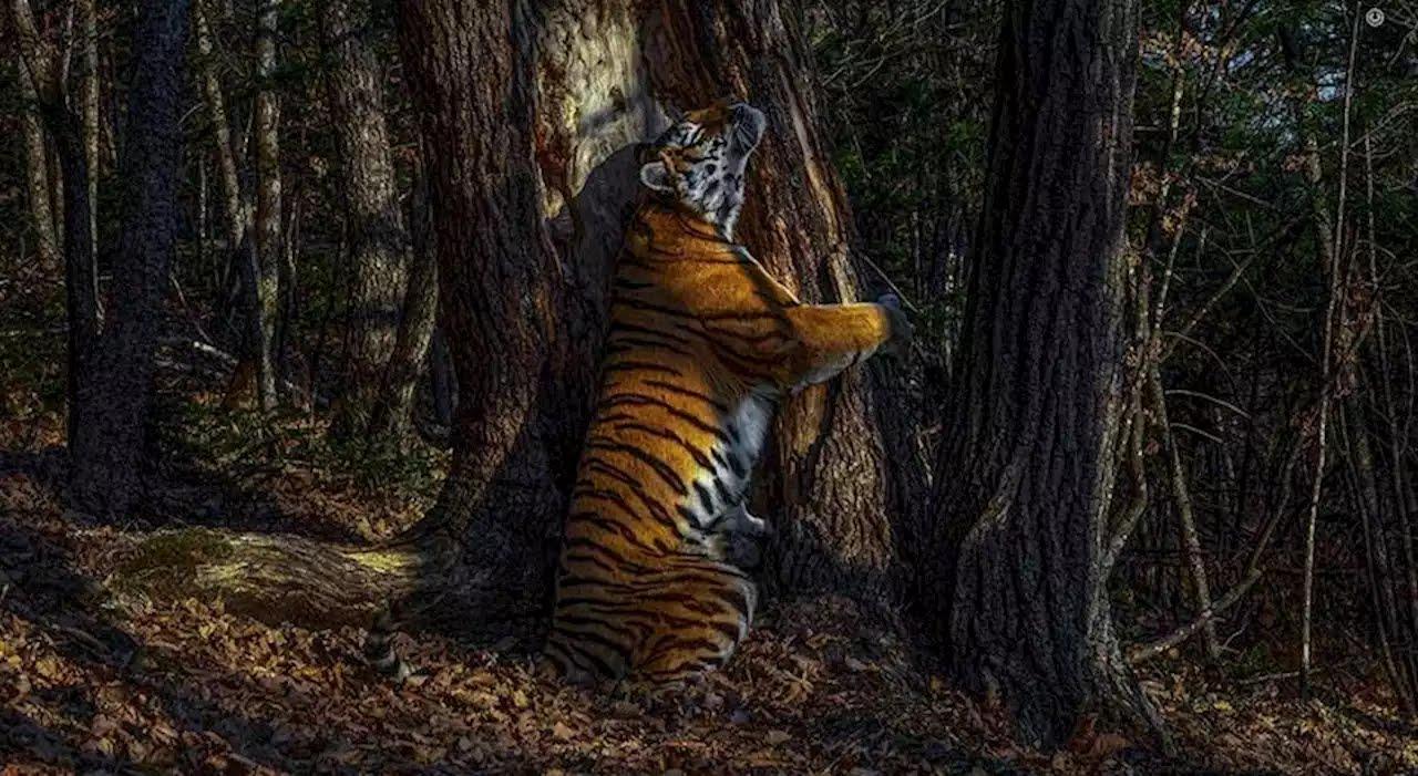 'Abraço' de um tigre vale título de Fotógrafo de Vida Selvagem 2020